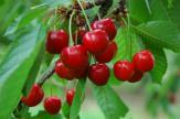 Cseresznye befőzése cukor és lé nélkül